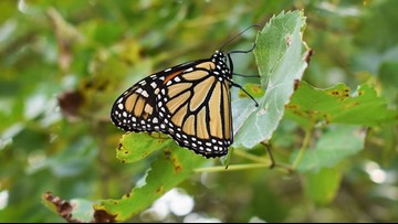 Monarch butterflies make stop in Austin during migration back South