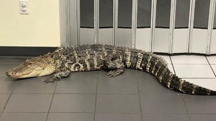 Deputies: Man trying to mail package finds alligator in post office lobby
