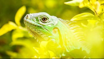 Florida iguana hunter accidentally shoots man in leg