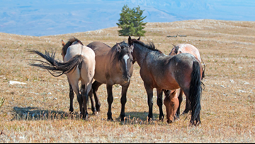 $1,000 offered to adopt a wild horse