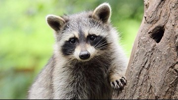 Wild raccoon moves into German zoo; keepers can't kick him out