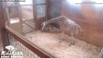 Watch live: April the Giraffe is in labor!